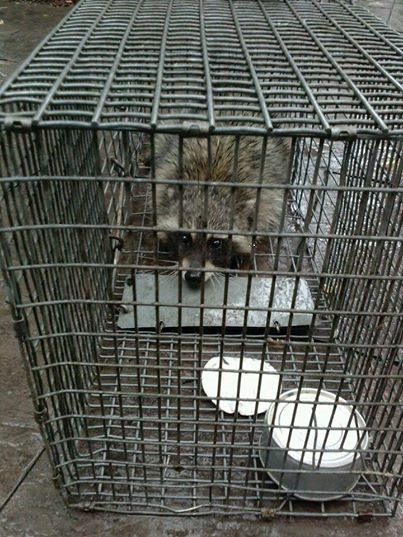 wildlife trapping critter control traverse city